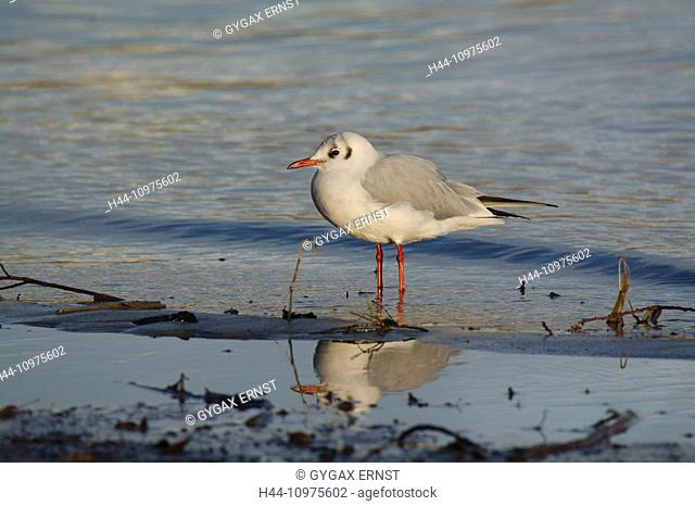 Switzerland, Thurgau, Lake Bodensee, avian, sea gull, common.headed gull, Chroicocephalus ridibundus, reflection