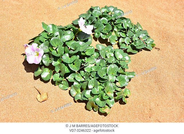 Beach morning glory or shore bindweed (Calystegia soldanella or Convolvulus soldanella) is a perennial vine native to beach sand habitats in temperate regions...