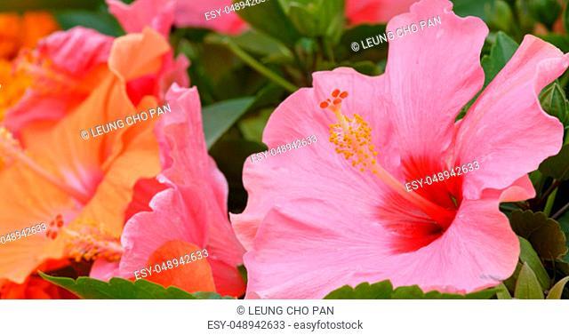 Pink hibiscus flower field