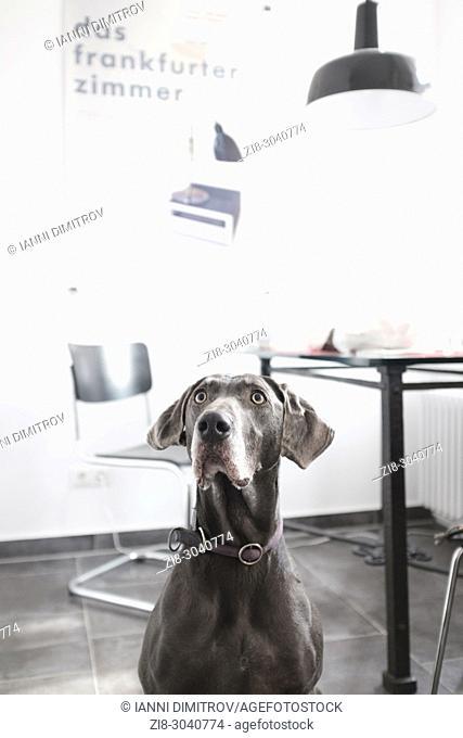 7 years old Weimaraner Pedigree dog in contemporary kitchen,Frankfurt Germany