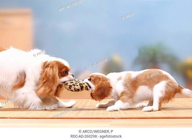 Cavalier King Charles Spaniel bitch with puppy blenheim 12 weeks toy tug-of-war side