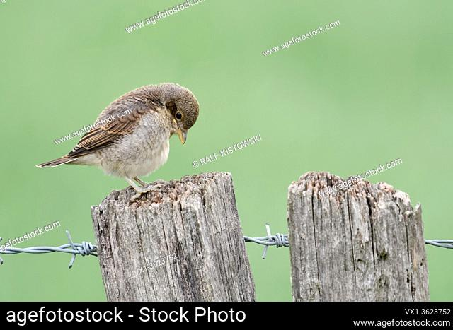 Red-backed Shrike ( Lanius collurio ), young chick, fledgling, perched on a fence post, exploring its surrounding, looks cute and funny, wildlife, Europe