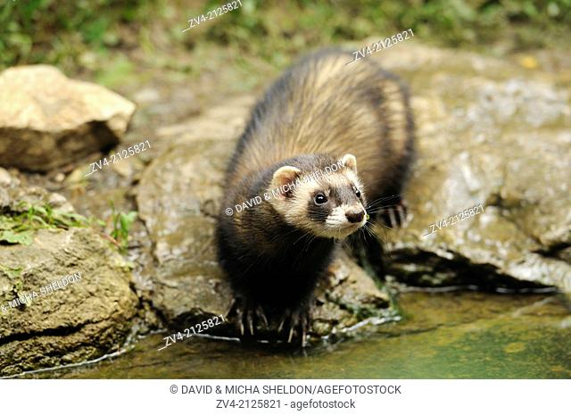 Close-up of an European polecat (Mustela putorius) standing at the shore of a lake