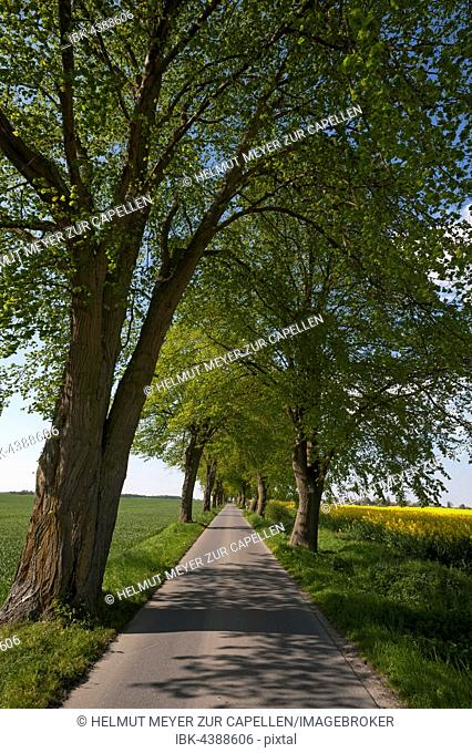 Largeleaf linden (Tilia platyphyllos) avenue, country road, Mecklenburg-Western Pomerania, Germany