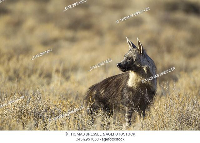 Brown Hyaena (Hyaena brunnea). Kalahari Desert, Kgalagadi Transfrontier Park, South Africa