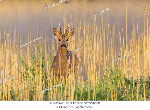 Western Roe Deer (Capreolus capreolus) in Reed, Roebuck, Hesse, Germany, Europe