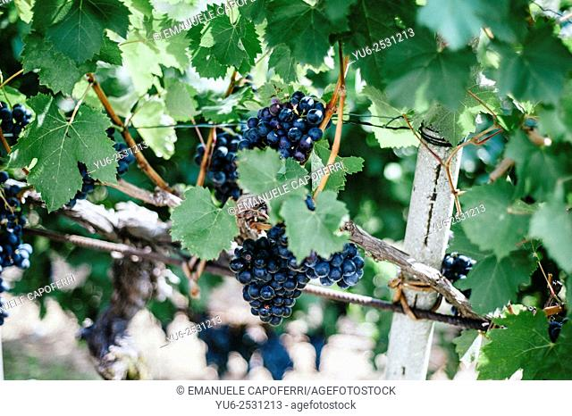 Bunches of ripe red grapes