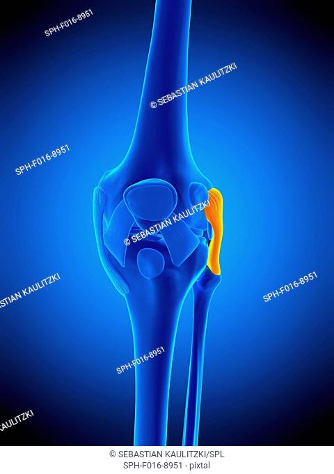 Illustration of the fibular collateral ligament