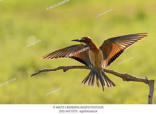 European bee-eater, Merops apiaster, flying and landing on a stick, in nice warm morning light, Csongrad, Hungary