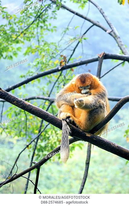 Asia, China, Shaanxi province, Qinling Mountains, Golden Snub-nosed Monkey Rhinopithecus roxellana, adult male on tree