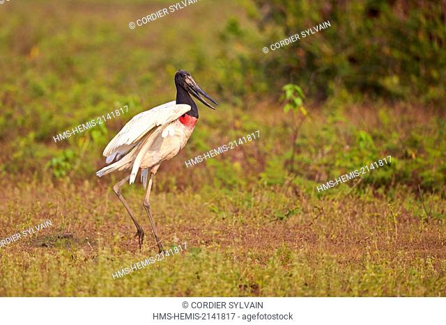 Brazil, Mato Grosso, Pantanal region, Jabiru (Jabiru mycteria)