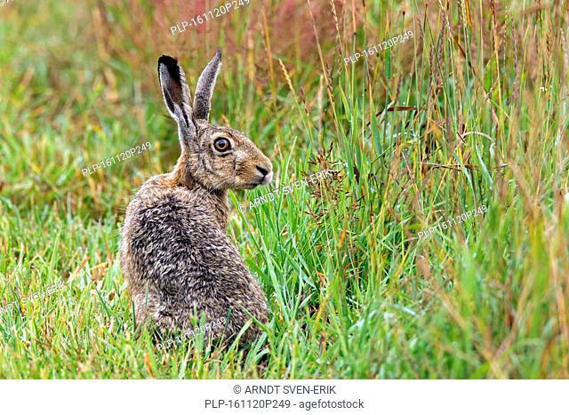 European Brown Hare (Lepus europaeus) sitting in meadow