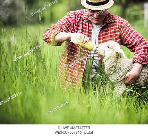 Shepherd feeding lamb with milk bottle