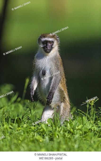 Vervet monkey standing up to get a better look in a Great Rift Valley forest north of Lake Baringo