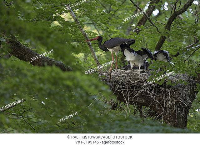 Black Stork / Schwarzstorch (Ciconia nigra), adult, feeding its offspring, huge nest high up in an old beech tree (Germany).