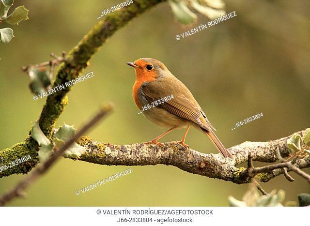 Robin (Erithacus rubecula) in the region of Los Serranos. Valencia