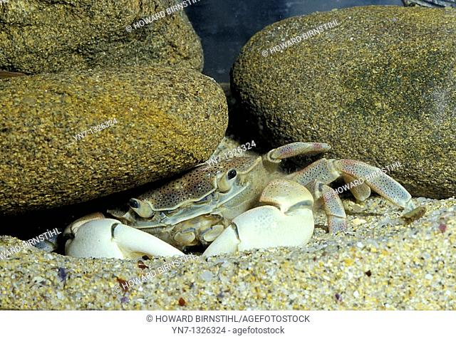 close up of crab Paragrapsus hiding under a rock in a rockpool