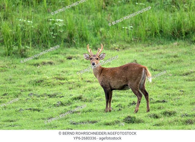 Hog deer (Axis porcinus), male standing in grassland, endangered species, Kaziranga National Park, Assam, India