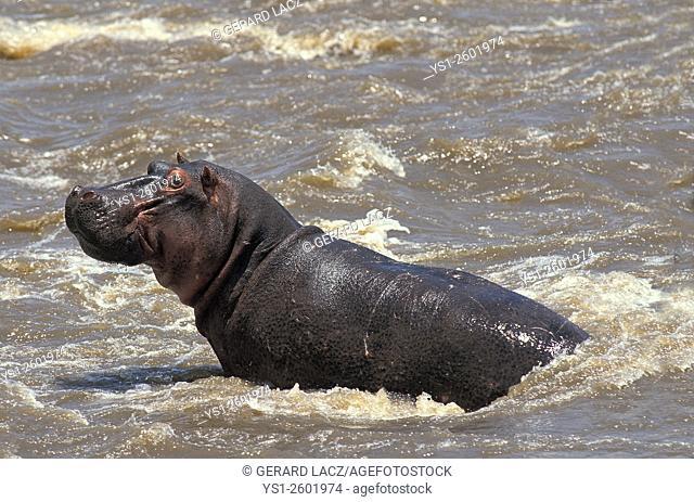 Hippopotamus, hippopotamus amphibius, Adult standing in River, Masai Mara Park in Kenya