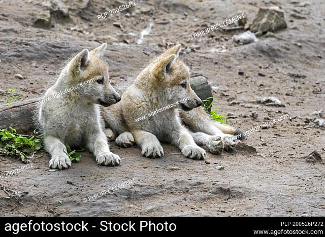 Hudson Bay wolves (Canis lupus hudsonicus) two white wolf pups resting near den, native to Canada