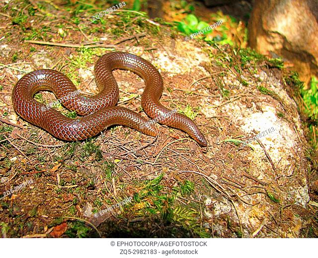 Perrotetâ. . s Shieldtail Snake, Plectrurus perroteti , Mukhurthi, Karnataka, India