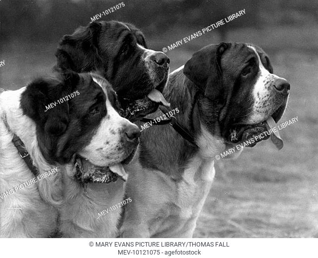 ABBOTTS-PASS MACKBETH, ROMEO & BORIS. Heads of three panting dogs. Owner:Staines