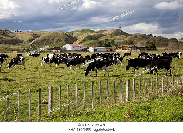 Friesian dairy cows, Turakina Valley near Whanganui, New Zealand, Pacific