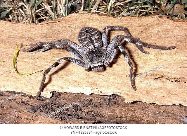 close up of huntsman Family Sparassidae spider on bark