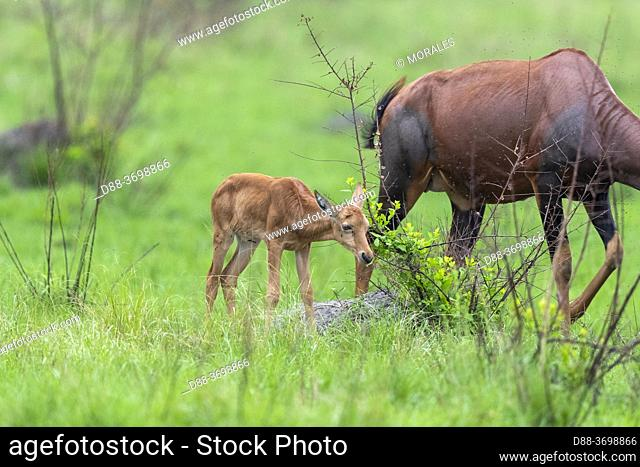 Topis (Damaliscus korrigum), Mother and baby grazing the lush grasslands, Ishasha Sector, Queen Elizabeth National Park, Uganda, Africa