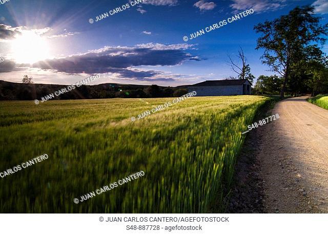 Cereal fields. La Rioja. Spain