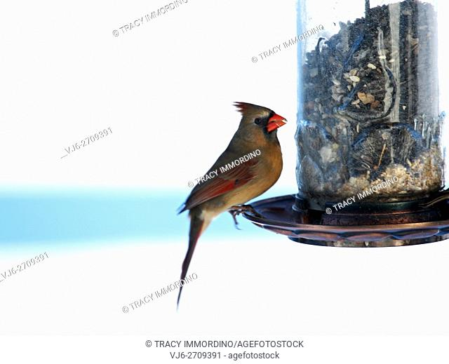 Close up of a female Northern Cardinal, Cardinalis Cardinalis, sitting at a birdfeeder in winter, side view in Trevor, Wisconsin, USA