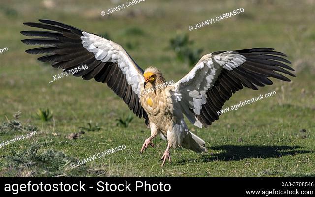 Egyptian vulture (Neophron percnopterus) landing