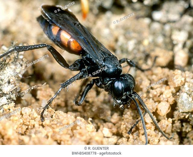 Black-banded spider wasp (Anoplius viaticus, Anoplius fuscus, Pompilus viaticus), Female digging the nest, Germany