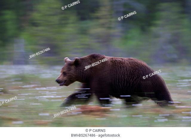 European brown bear Ursus arctos arctos, European brown bear in boreal forest, Finland, Martinselkonen Wilds Centre