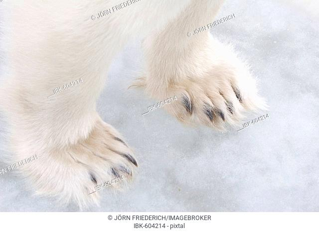 Polar Bear (Ursus maritimus) paws, Churchill, Manitoba, Canada