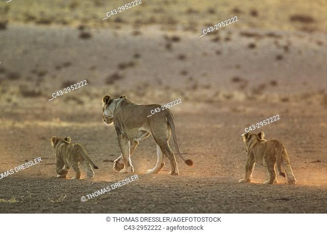 Lion (Panthera leo). Female with two cubs in the light of the early morning. Kalahari Desert, Kgalagadi Transfrontier Park, South Africa