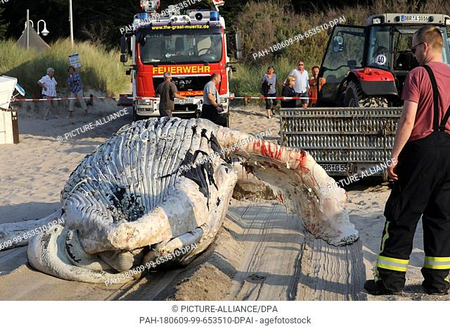 09 June 2018, Germany, Graal-Mueritz: Adead whale is dragged onto a beach at the Baltic Sea and removed. According to experts from the German Oceanographic...