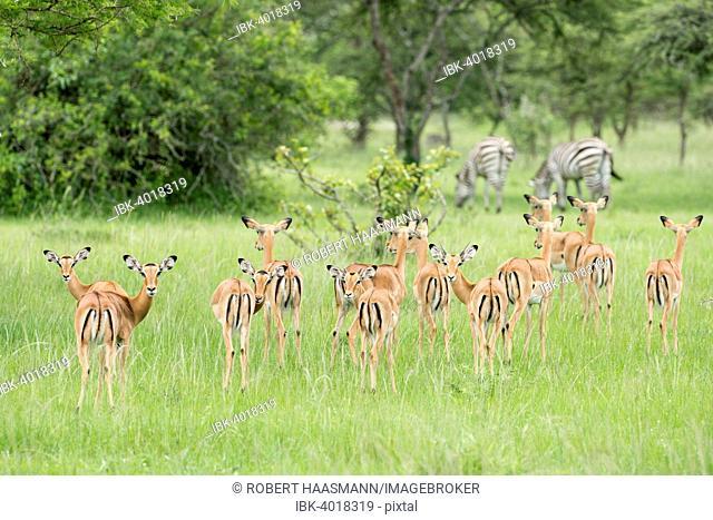 Herd of Impalas (Aepyceros melampus), zebras at the back, Lake Mburo National Park, Uganda