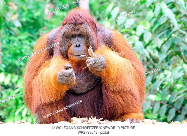 Indonesia, Kalimantan, Borneo, Kotawaringin Barat, Tanjung Puting National Park, Orangutan (Pongo pygmaeus) male
