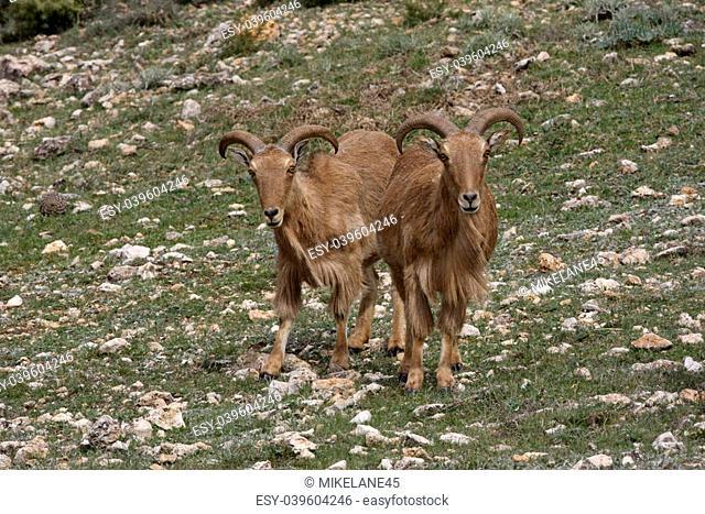 Barbary sheep or Mouflon, Ammotragus lervia, Two animals standing on grass, Espuna National Park, Spain
