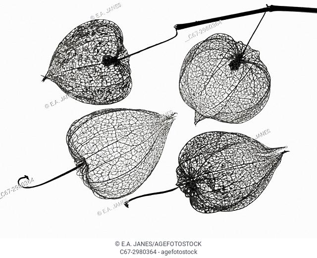 Chinese Lanterns Physalis alkekengi skeletons