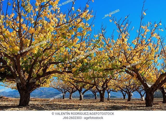 Fruit trees, apricot, in the Vall d'Albaida. Valencia