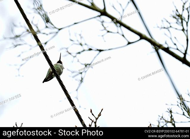 View from below of an Anna's Hummingbird sitting on a wire