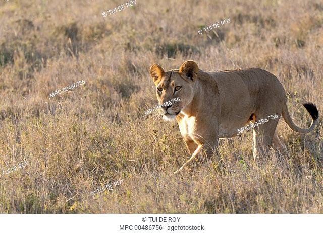African Lion (Panthera leo) female, Borana Ranch, Kenya