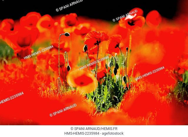 France, Aveyron, Parc Naturel Regional des Grands Causses (Natural regional park of Grands Causses), Poppies