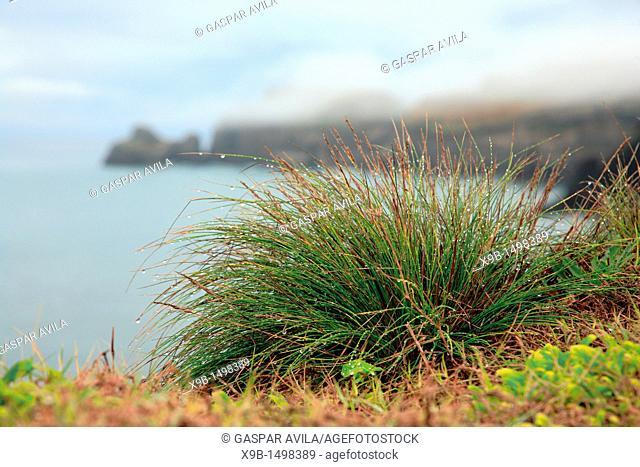 Azores islands endemic flora: Festuca petraea Guthnick  Portuguese name is 'bracel-da-rocha' or 'braceu'