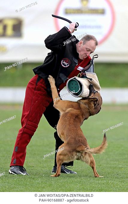 Matthias Mylius, wearing a protective suit and acting as a mock criminal, being bitten by a Malinois dog at the Belgian Shepherd World Championships in Halle