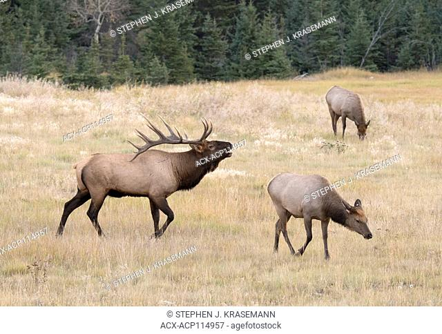 Bugling elk, or wapiti (Cervus canadensis), and two cow elk in Jasper National Park, Alberta, Canada