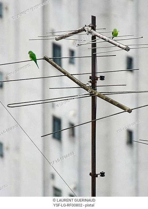Bird, bird, Brotogeris tirica, Peruche, São Paulo, Brazil