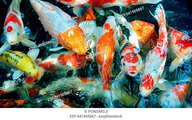 Carp fish or Fancy carp Japanese Koi or Koi fish called is a beautiful aquatic animal or aquatic pet in asia and Japanese